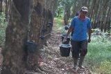 Pabrik pengolahan karet di  Sumatera Selatan kekurangan bahan baku