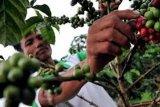 Produktivitas petani kopi Sumatera Selatan  masih rendah