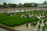 Luas areal padi di Kudus baru 37,45 persen