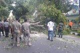 23 pohon di Kota Mataram tumbang dalam sehari akibat angin kencang