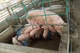 Adonara titik awal pengembangan ternak babi di Flores Timur