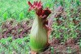 Amorphophallus Titanium corpse flower blooms in Agam