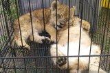 Polda Riau menyelamatkan empat bayi singa Afrika