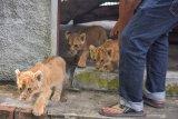 Dua tersangka jaringan penyelup empat ekor bayi Singa Afrika ditangkap di Riau