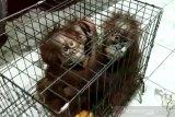 Induk bayi orangutan terlantar diduga sudah dibunuh