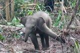 Bayi gajah sumatera terjerat kembali di konsesi HTI di Riau