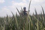 GGP dukung peningkatan ekspor komoditas pertanian di Lampung