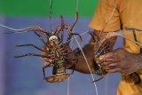 Sumatera Selatan tidak miliki lokasi pengembanganbiakan benih  lobster