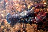 Anggota DPR: Jangan buka  keran ekspor benih lobster