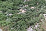 Ratusan hektare padi milik warga terendam banjir