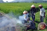 Petani padi gotong royong  basmi hama tikus masuki musim tanam