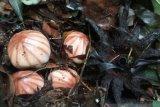 BKSDA Agam found Rhizanthes Lowii in Lake Maninjau Region