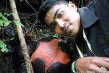 Bunga Rafflesia terbesar di dunia bakal mekar di Agam, Sumbar