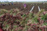Panen bawang merah