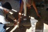 Di Konawe, warga tangkap buaya yang masuk di jaring nelayan