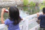 Objek wisata air panas di Flores Timur bau amis