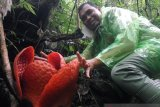 The World's Largest Rafflesia Flower blooms in Agam