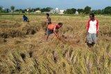Sehektar padi siap panen di Mataram rebah akibat angin kencang