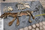 Tim gabungan tangkap penjual kulit harimau dengan harga puluhan juta rupiah