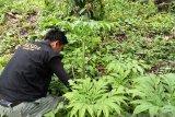 Ratusan bunga Bangkai ditemukan di perkebunan sawit milik warga Lubukbasung