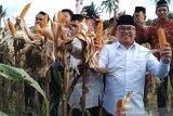Limapuluh Kota bisa jadi sentra penghasil jagung wilayah barat