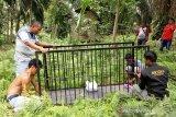 Beruang madu resahkan warga Surabayo, BKSDA Resor Agam pasang perangkap