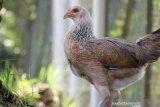 IPB kembangkan ayam kampung unggul