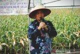 Kotim diminati investor kembangkan jagung