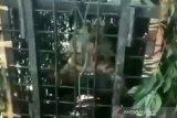 BKSDA Sumsel sebut Harimau di Muara Enim belum tertangkap