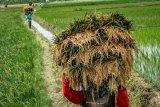 Target produksi beras