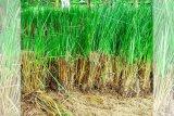 Tanaman vetiver mampu cegah longsor dan erosi