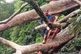 Sarang tawon sulitkan petugas singkirkan tumbang macetkan di jalan Agam-Bukittinggi