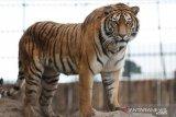 Seekor harimau sumatera masuk perangkap yang dipasang BKSDA di Muara Enim