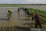Buruh tani menanam padi di area sawah desa Totoran, Pasekan, Indramayu, Jawa Barat, Minggu (12/1/2020). Petani di daerah tersebut mengaku kesulitan mencari buruh tani muda yang mau menjadi tenaga kerja dalam bidang pertanian. ANTARA JABAR/Dedhez Anggara/agr