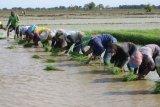 Buruh tani menanam padi di area sawah desa Totoran, Pasekan, Indramayu, Jawa Barat, Minggu (12/1/2020). Petani di daerah tersebut mengaku kesulitan mencari buruh tani muda yang mau menjadi tenaga kerja dalam bidang pertanian. ANTARA FOTO/Dedhez Anggara/foc.