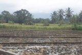 Petani di Pasaman Barat terancam gagal panen