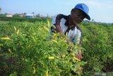 Petani memanen cabai rawit di Desa Polagan, Pamekasan, Jawa Timur, Selasa (14/1/2020). Dalam satu bulan terakhir harga cabai rawit ditingkat petani di daerah itu naik dari Rp20.000 menjadi Rp45.000 per kg, karena tanaman tersebut rusak akibat hama dan penyakit. Antara Jatim/Saiful Bahri/zk