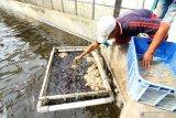 Pekerja memberi makan sidat di sentra budidaya Sidat di Bomo, Banyuwangi, Jawa Timur, Senin (13/1/2020). Pada tahun 2019 hasil budidaya sidat dilahan seluas 43 hektar itu mencapai 200 ton per tahun dan ditargetkan pada tahun 2020 mencapai 350 ton sidat. Antara Jatim/Budi Candra Setya/zk