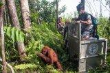IAR Indonesia : Konflik manusia-orangutan terus bertambah