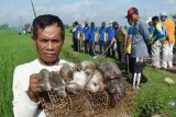Tanaman jagung di Flores Timur juga diserang hama tikus