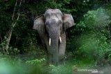 Frekuensi konflik gajah-manusia meningkat, 38 ekor gajah mati