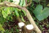 250 pohon kopi dirusak, enam warga Temanggung diperiksa