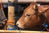 Yogyakarta memperketat pengawasan kesehatan sapi di RPH Giwangan