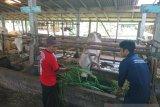 Thailera bukan virus tapi parasit darah pada sapi
