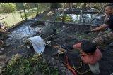 Relawan berusaha menangkap buaya muara (Crocodylus porosus) saat proses pemindahan di Pusat Penyelamatan Satwa, Tabanan, Bali, Sabtu (18/1/2020). Sebanyak 13 buaya hasil penyitaan dan penyerahan dari masyarakat tersebut dipindahkan ke Taman Nasional Way Kambas, Lampung, Sumatra untuk penyelamatan satwa tersebut ke habitatnya. ANTARA FOTO/Nyoman Hendra Wibowo/nym.