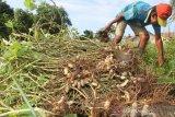 Petani memanen kacang tanah di area perkebunan miliknya di Desa Suak Sigadeng, Johan Pahlawan, Aceh Barat, Aceh, Minggu (19/1/2020). Pada musim panen kali ini harga jual kacang tanah stabil pada kisaran Rp10 ribu sampai Rp15 ribu per bambu tergantung tingkat kekeringan kacang. Antara Aceh/Syifa Yulinnas