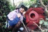Dua bunga Rafflesia mekar hampir bersamaan di kawasan Danau Maninjau, berikut lokasinya