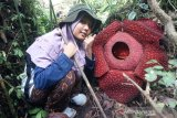 Two Rafflesia flowers bloom almost simultaneously in Maninjau lake region