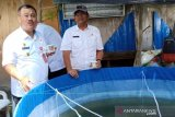 DKP Sulteng berdayakan korban bencana dengan kolam ikan semi intensif  (vidio)