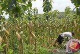 Tanaman sela Jagung menaikkan pendapatan masyarakat Kolaka Utara